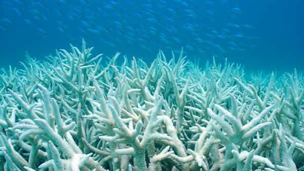 Coral Bleaching- Coral Reef Bleaching degradation of coral reef