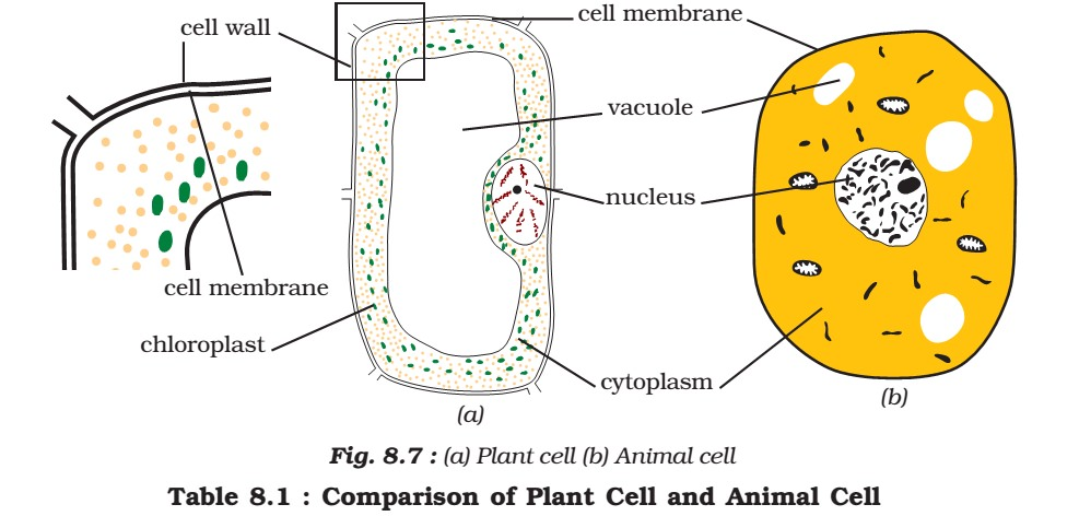 cell organelles plant cell vs animal cell pmf ias. Black Bedroom Furniture Sets. Home Design Ideas