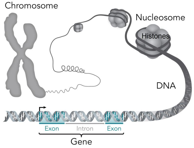 Chromospme-DNA-Gene-Nucleosome-Histone