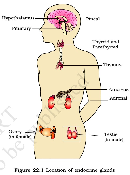 Endocrine Glands Hormones Hypothalamus Pituitary Gland Thyroid Gland Adrenal Gland Pancreas