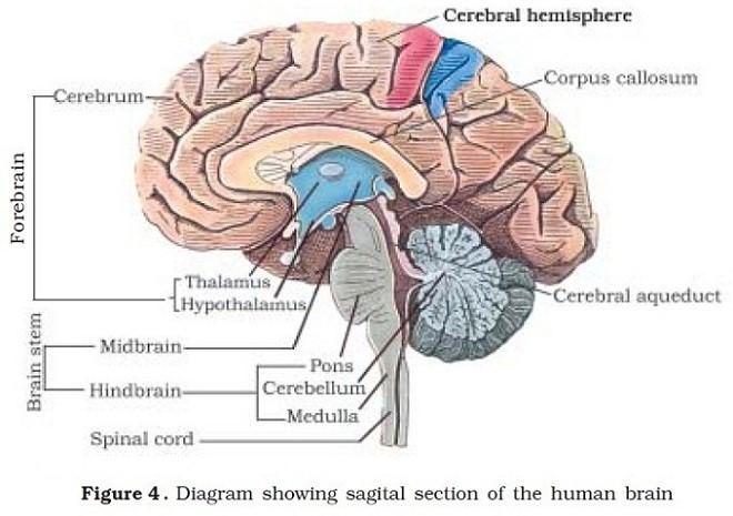 Human Brain - Human Neural System