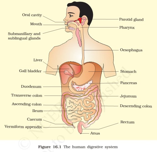 which enzyme is found in the stomach