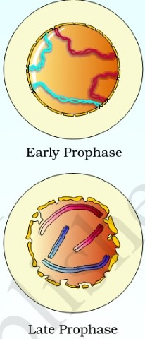 Mitosis-Propase