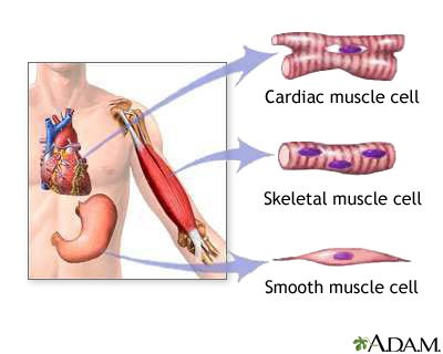 Muscular System – Muscle Types