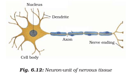 Neuron - Nervous Tissue