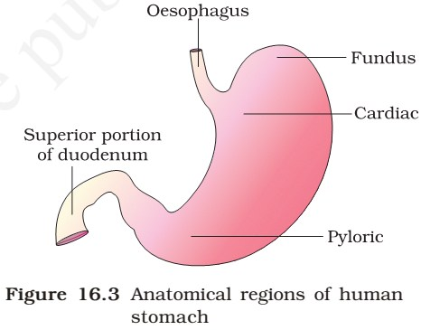 Human Digestive System Digestive Glands Enzyme Action In Stomach Small Intestine