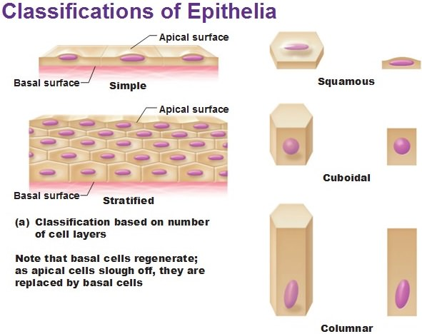 classification-of-epithelia
