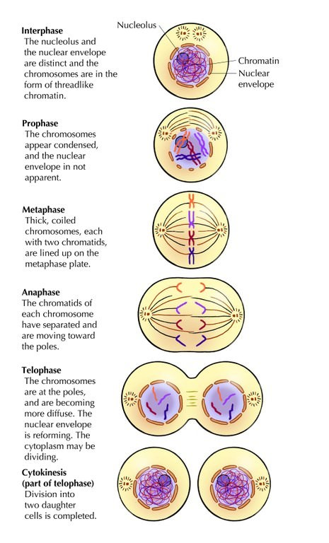 interphase - mitosis - cytokineis