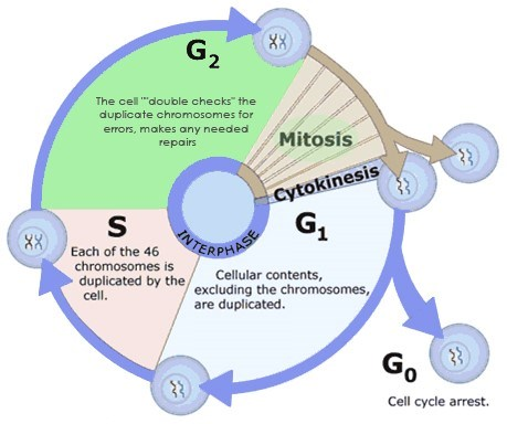 interphase-mitosis-m-phase