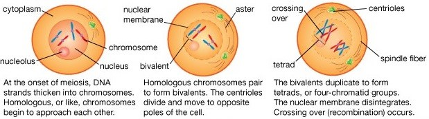 meiosis - meiotic cell division - prophase I