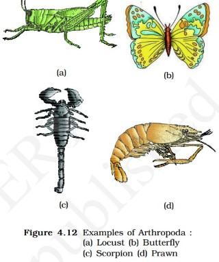Arthropoda - scorpion - prawns -butterfly