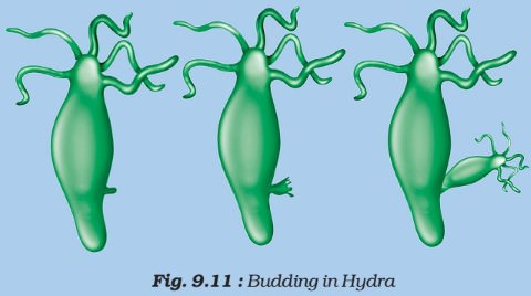 Asexual Reproduction - budding in hydra
