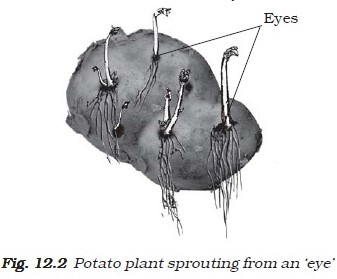 Budding - Sprouting Eye Potato