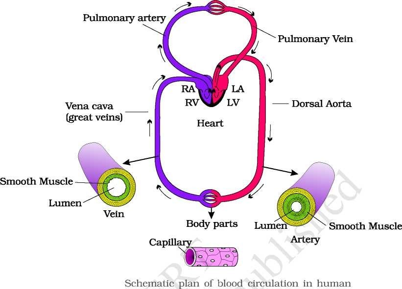 Double Circulation - Vein - Artery