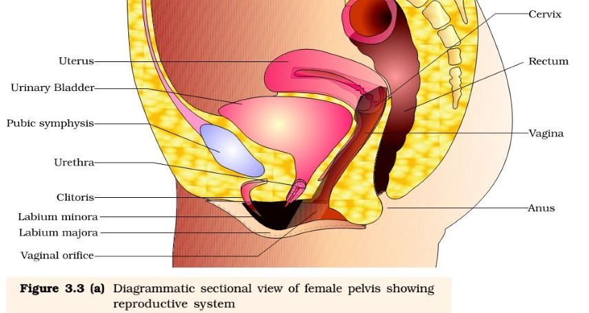 Female Reproductive System - pelvis