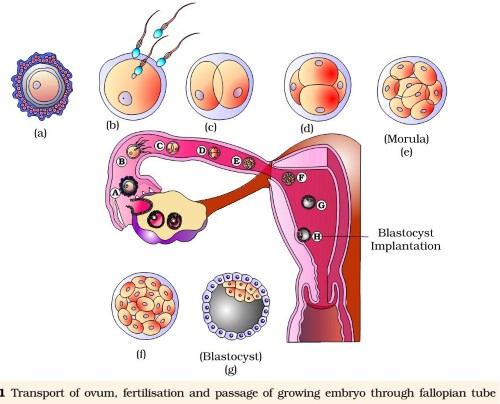 Fertilisation And Implantation
