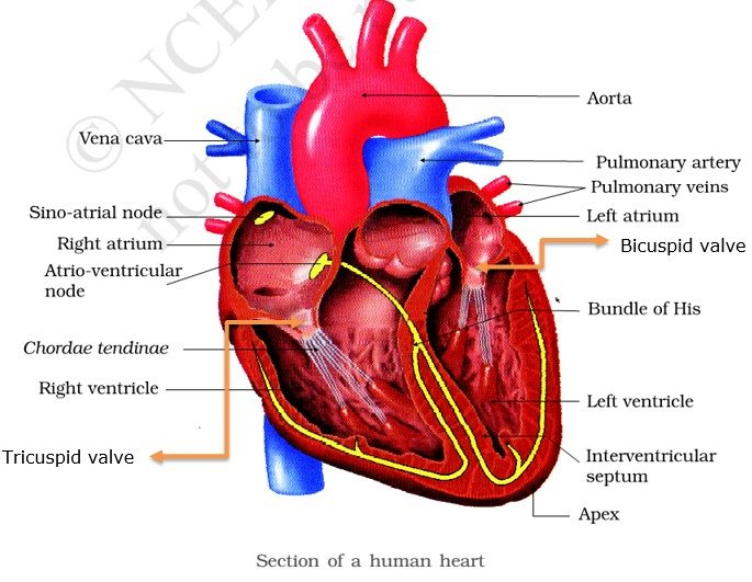 Circulatory system double circulation pmf ias human heart human circulatory system ccuart Choice Image