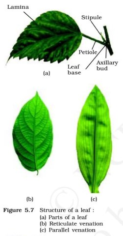 Leaf Venation - Parallel - Reticulate