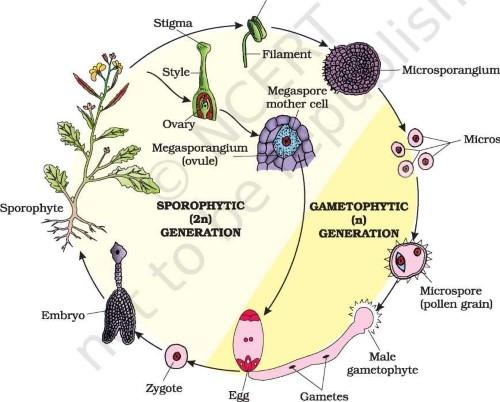 Life cycle of an angiosperm (Custom)Life cycle of an angiosperm (Custom)