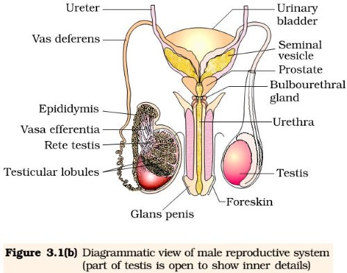 man-and-womans-sex-organs