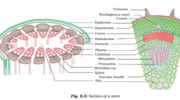 Plant Tissue – Meristematic – Simple, Complex Permanent Tissue