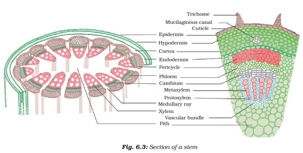 Parts of Plant Stem - Plant Tissues