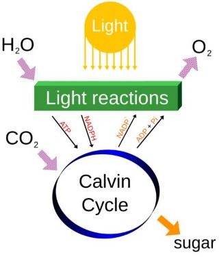 Photosynthesis - Light Reactions (Mobile)