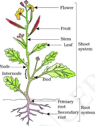 plant parts and their functions – structural organization in plants