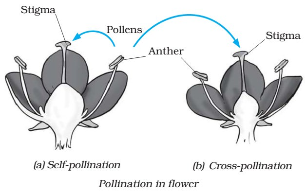 Pollination in Flower - Self-Cross Pollination
