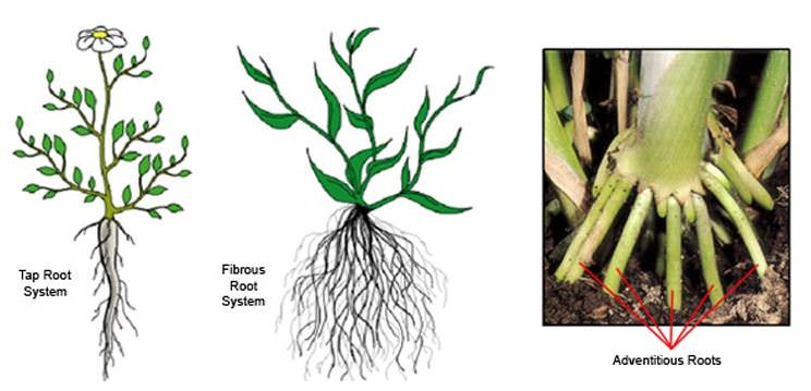 Taproot And Fibrous Root Systems In Parison From Bugs Bio Usyd Edu Au Learning Resources Plant Form Function1 Primary Roots Html