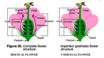 Sexual Reproduction in Plants – Unisexual and Bisexual