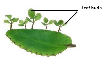 Vegetative Propagation - Budding - Bryophyllum