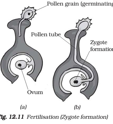 Zygote Formation - Fertilisation