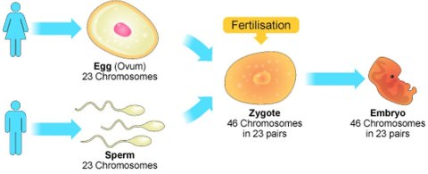 human - reproduction - fertilization - zygote