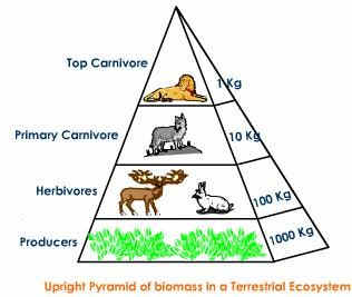 Ecological Pyramid of Biomass – Upright