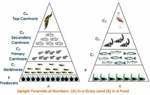 Ecological Pyramid of numbers – upright - grassland - pond ecosystem