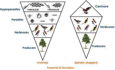 Ecological Pyramid of numbers - inverted - tree ecosystem