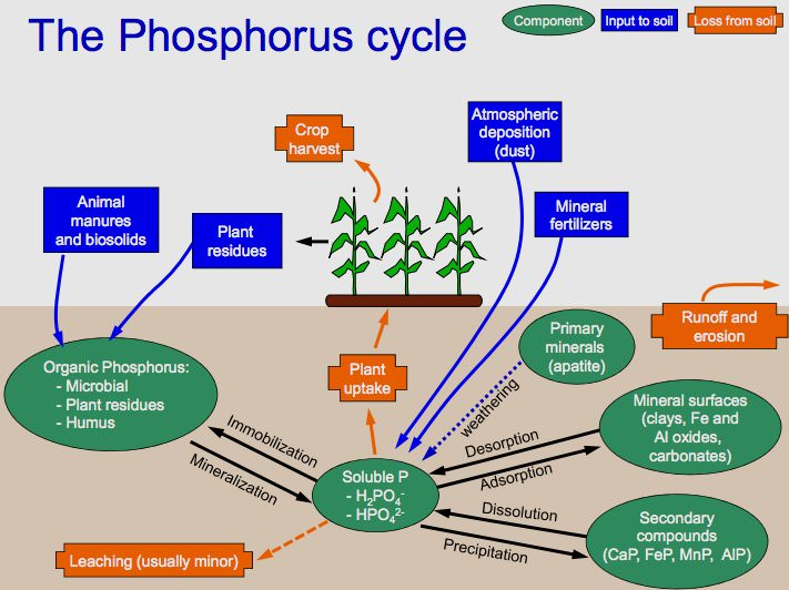 Phosphorus Cycle wiki