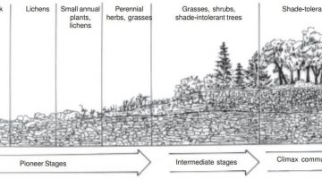 Ecological Succession - Primary Succession