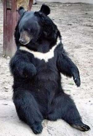 Asian black bear- moon bear or white-chested bear