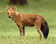 Dhole- Asiatic wild dog or Indian wild dog