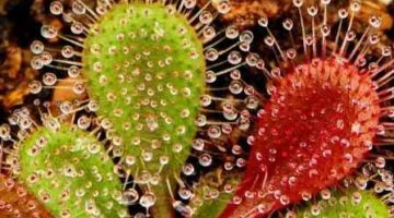 Insectivorous Plants of India