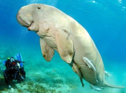 Dugong-Sea Cow