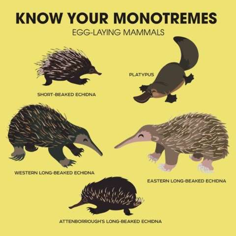 Egg Laying Mammals -monotremes