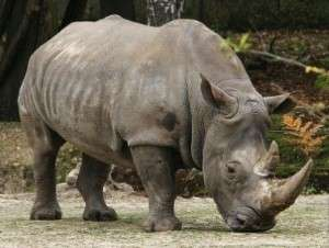 Great Indian one horn Rhinoceros