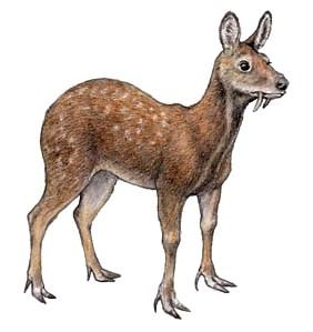 Himalayan - White-bellied Musk Deer