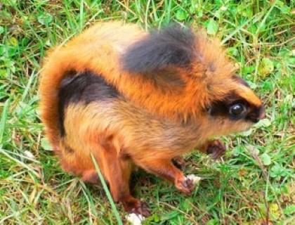 Namdapha Flying Squirrel