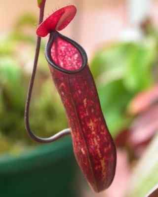 Nepenthaceae - pitcher plant