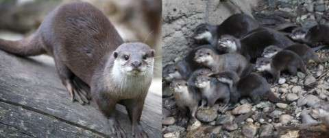 Oriental small-clawed otter-Asian small-clawed otter (Aonyx cinerea)