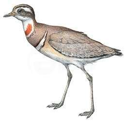 The Jerdon's Courser (Rhinoptilus bitorquatus)